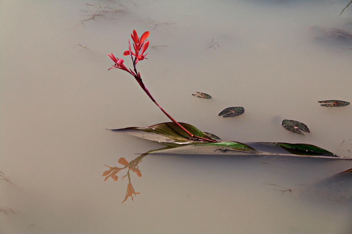 Kuva: Kaunis kukka nousee mudasta.