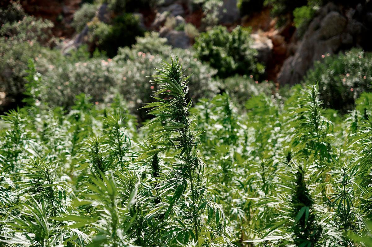 Kuva: Kannabispelto.