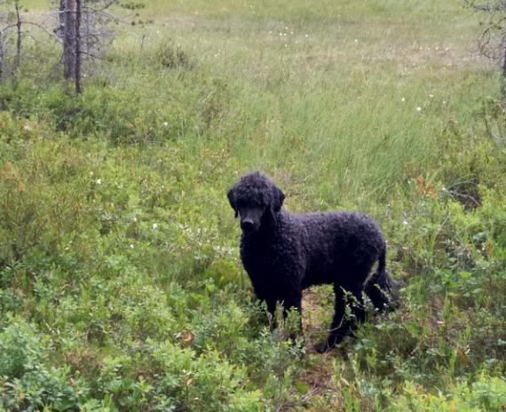Musta villakoira seisoo suon reunalla.