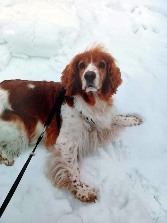 Kuvassa on ruskea-valkolaikkuinen koira lumella.